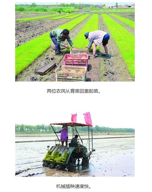 蓝村盐碱地水稻迎来插秧季 中秋前后将收割上市